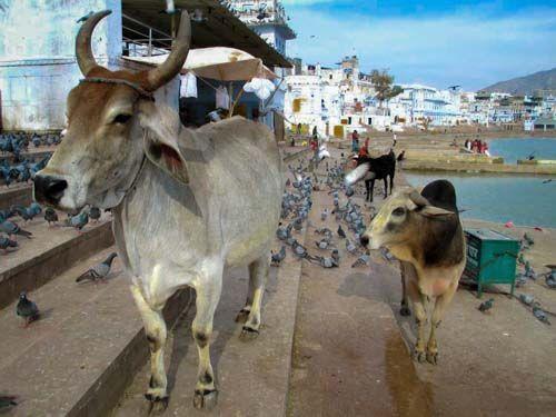 India Vaca Sagrada - 3000KM -Viajes-Aventura-Alternativos-Mochilero-Turismo_Responsable