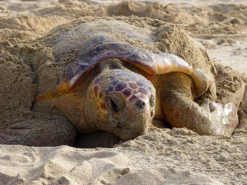 Tortugas-Isla_de_Maio-Cabo_Verde-3000km-Viajes-Aventura-Turismo-Alternativos-Grupo-Mochilero-02