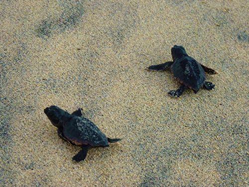 Tortugas-Isla_de_Maio-Cabo_Verde-3000km-Viajes-Aventura-Turismo-Alternativos-Grupo-Mochilero-05